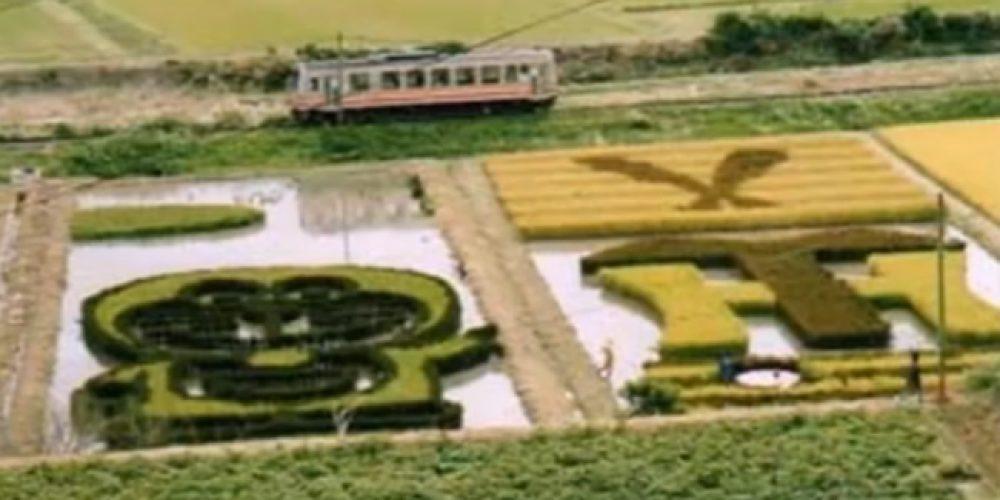 Arte da colheita – campos de arroz do Japão