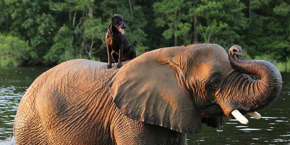 """Não é nenhuma surpresa que um cão adora jogar """"bolinha"""" – mas um elefante?"""