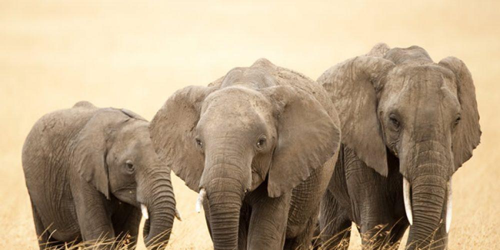 Inteligência e memória de elefantes